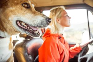 Motoristas que transportam cachorros nos carros podem ser multados?