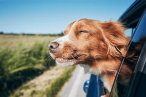 cachorros-com-a-cabeça-para-lado-de-fora-dos-carros